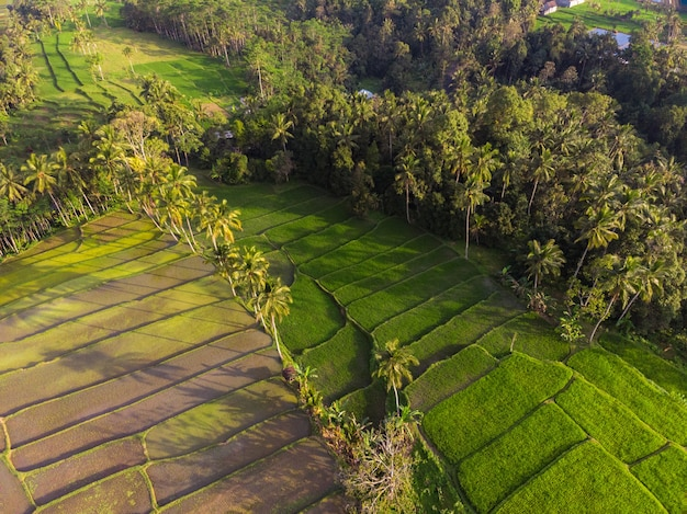 Rice plant terrace asia agriculture at bali indonesia