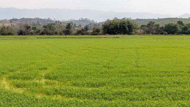 Поле рисовых плантаций. производство риса