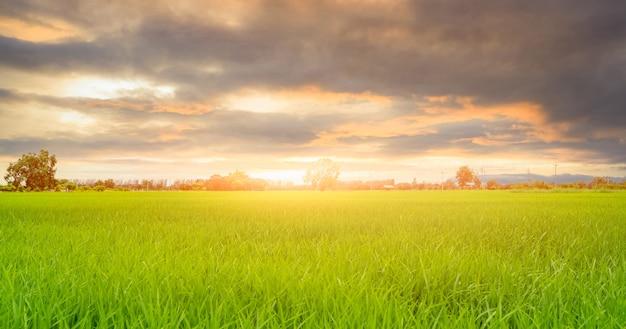 米のプランテーション。緑の水田。アジアの有機稲作農家。稲作農業。緑の水田。水田播種稲作。農園の風景と曇り空。