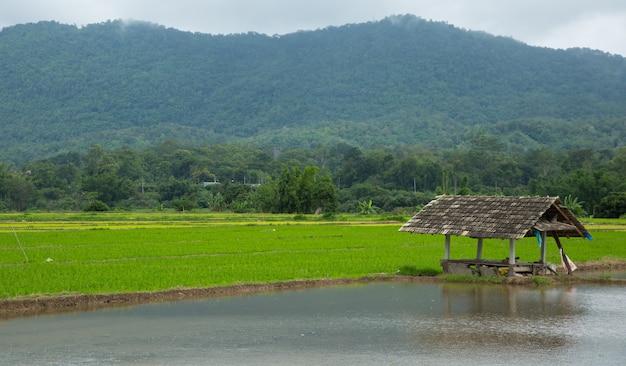 Rice planting field on raining day