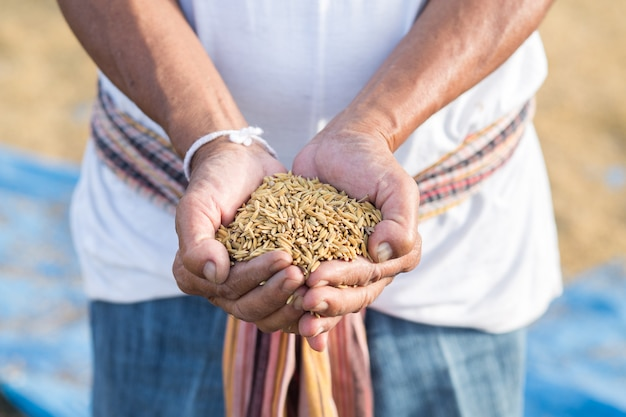 Rice seed in farmer hand