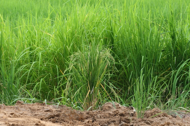 Rice seed on green cornfield and soil background in thailand