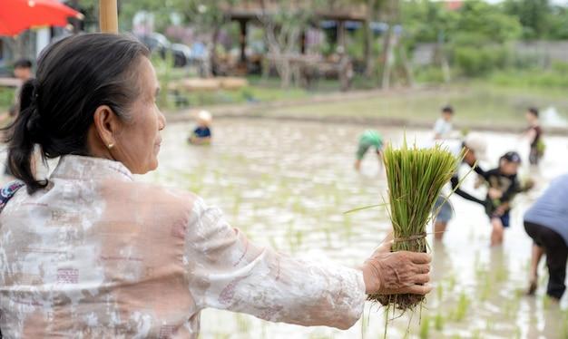진흙 투성이의 아이들이 흐릿한 노인 여성의 손에있는 쌀 모종은 쌀 심기를 즐깁니다.
