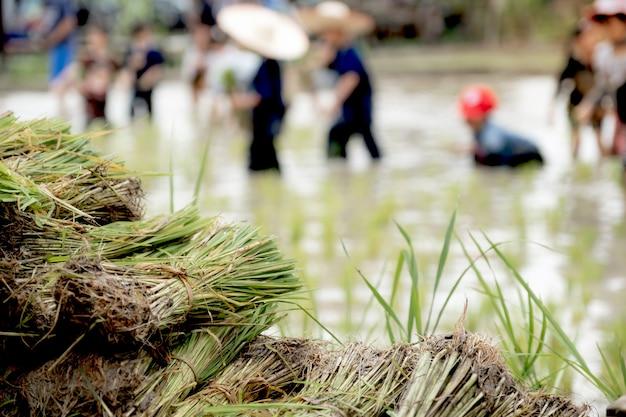 진흙 투성이의 아이들의 흐릿한 벼 묘목은 학습을 위해 밭 농장에서 벼를 심는 것을 즐깁니다.