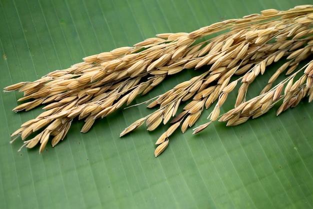 Rice spikes on banana leaf