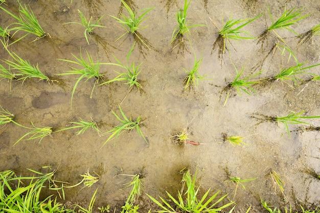 쌀은 논 평면도 각도에서 식물 성장을 합니다.