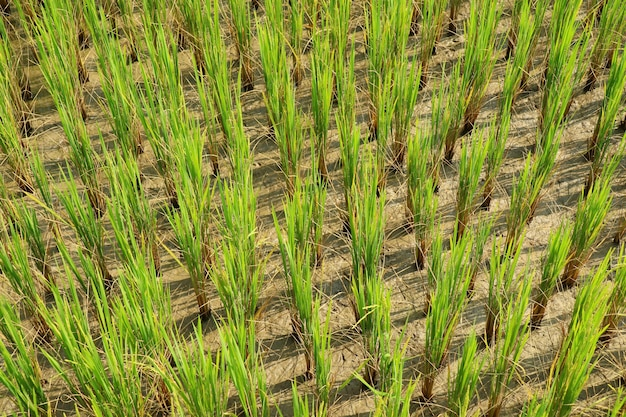 Rice sprouts, rice seedlings, in the rice field.