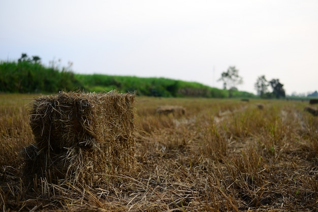Rice straw hay in the countryside farm with morning sky