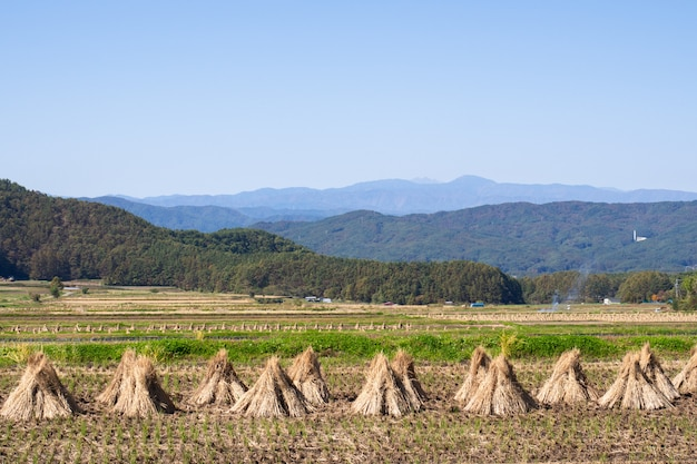 Rice straws on field against sky