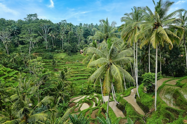 Rice terrace at tegalalang in bali