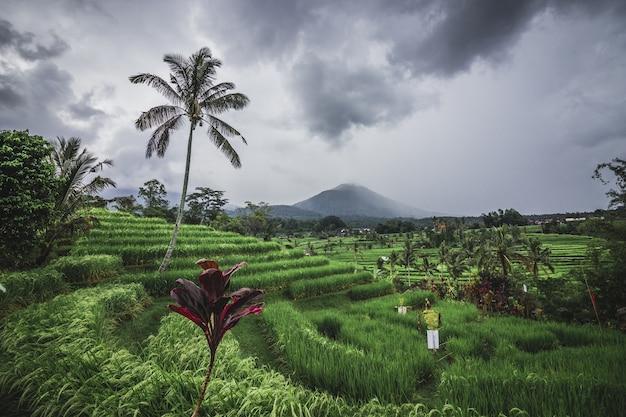 Рисовые террасы в пасмурный день возле деревни тегаллаланг, убуд, бали, индонезия.