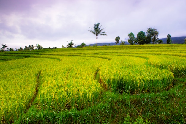 Rice terraces in indonesia with natural and beautiful colors