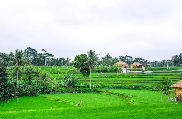 Rice terraces. traditional rice fields in bali. green rice field farm