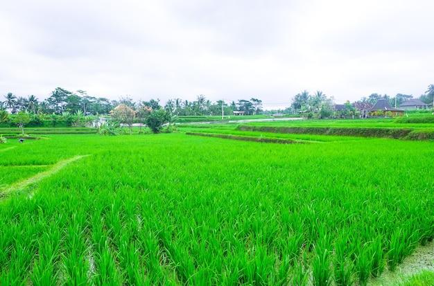 棚田。バリ島の伝統的な水田。緑田農園