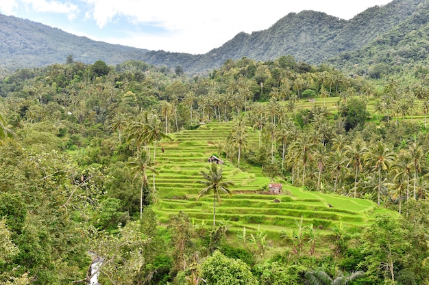 Rice terraces tropical landscape palm trees green fileds