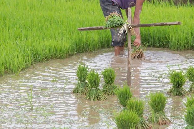 Rice transplant