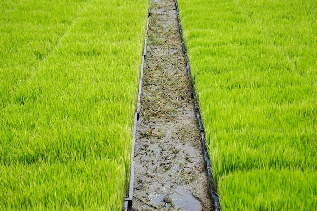 Rice transplanting with machine agriculture concepts.