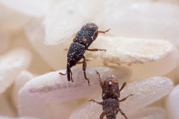 Рисовый долгоносик или научные названия sitophilus oryzae крупным планом на белом рисе уничтожены.