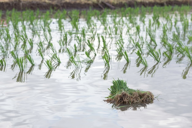 Rice young plant