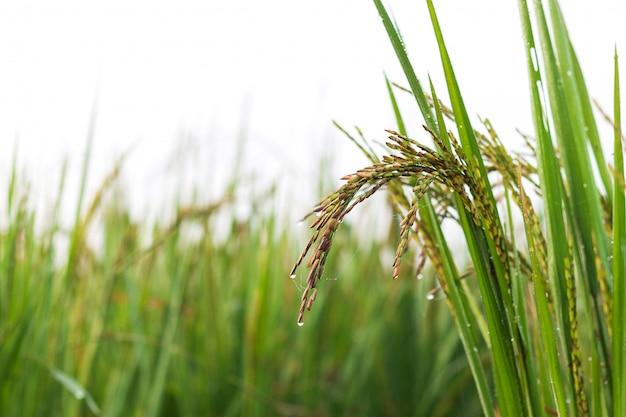 Riceberry field