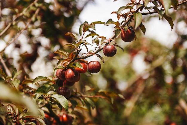 緑の葉のクローズアップと木の枝でプラムの豊富な作物が熟します!木の枝に熟したプラム。木の枝に梅