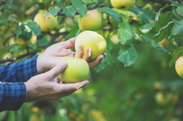 남성의 손에 있는 풍부한 녹색 유기농 사과. 과수원에서 풍부한 녹색 사과를 수확하는 남자