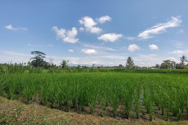 풍부한 녹색 쌀 계단식 논을 배경으로 전통적인 발리식 라이스 테라스 정글
