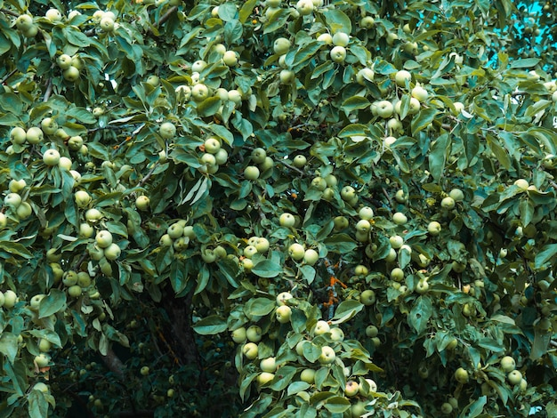 Rich harvest of apples, apples on a branch