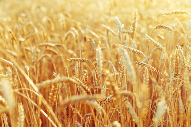 Rich harvest concept with wheat field