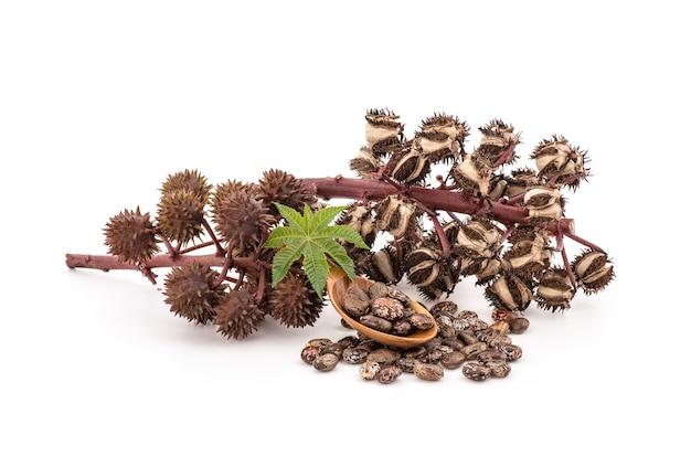 Ricinus communisまたはヒマシ油、緑の葉、種子および油が白で分離されました。
