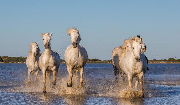 馬に乗ったライダーがカマルグ馬を放牧