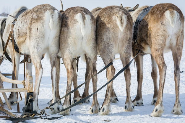 Riding reindeers stand back at the winter camp in siberia.