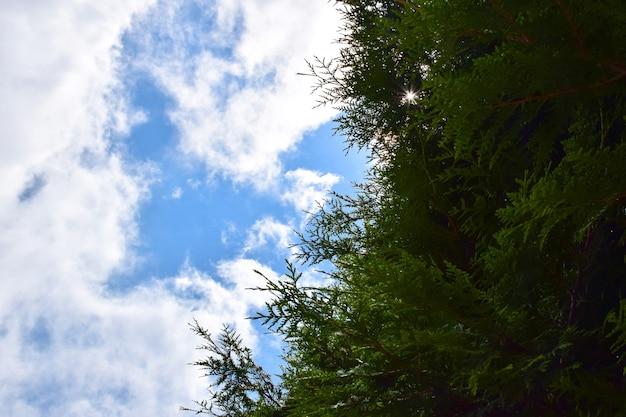 On the right side of the frame there are dense branches of a fence made of thuja shrubs, and on the left there is a bright blue sky with clouds