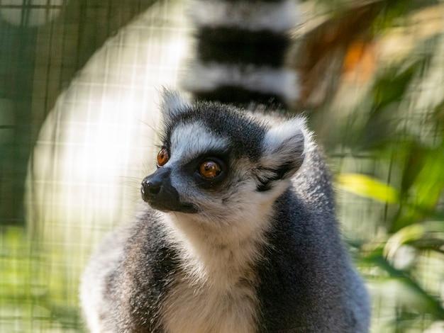 Кольцевидный лемур (lemur catta).