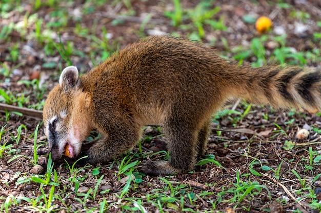 Ring tailed coati, nasua nasua, eating a fruit