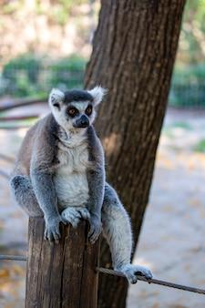 Кольцевидный пушистый лемур сидит на пне. кольцевидный лемур сидит на дереве. венценосный лемур (lemur catta) с широко открытыми глазами. млекопитающее с полосатым хвостом сидит на ветке в лесу
