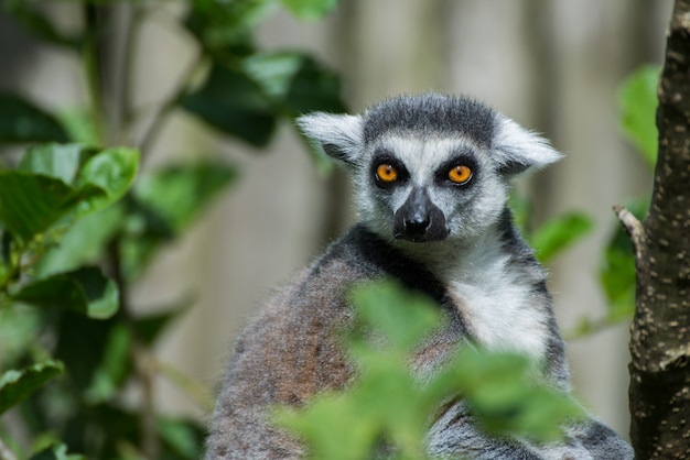 Ring-tailed lemur attentively looking