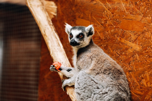 A ring-tailed lemur catta is eating a fruit while sitting on a log