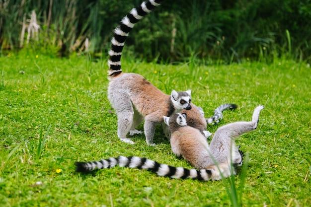 草の上のワオキツネザル家族。キツネザルcattaのグループ。美しいグレーと白のキツネザル。動物園のアフリカの動物
