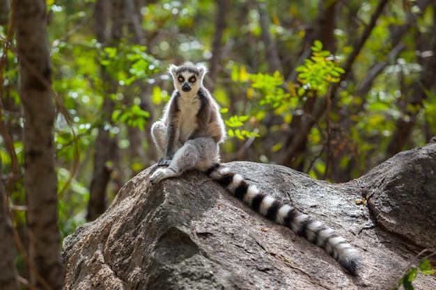 野生のラノマファナ国立公園のワオキツネザル