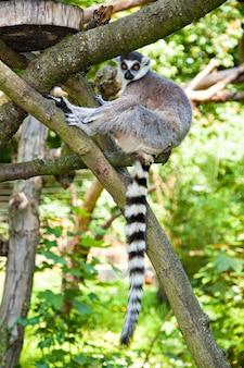고리 여우 원숭이는 나무 줄기, 여우 원숭이 catta에 앉아