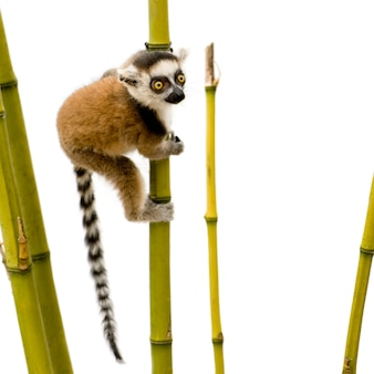Ring-tailed lemur, lemur catta on a white isolated