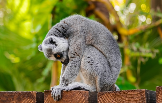 Ring-tailed lemur in nature