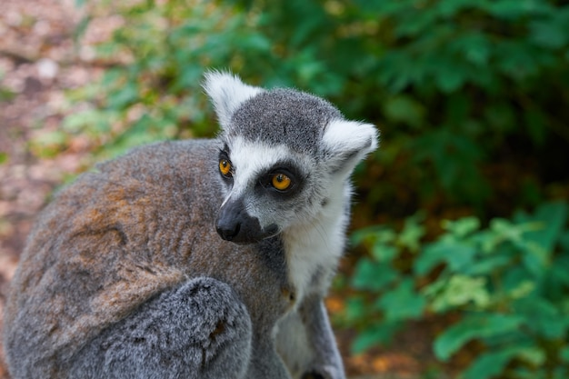 Ring tailed lemur outdoor forest