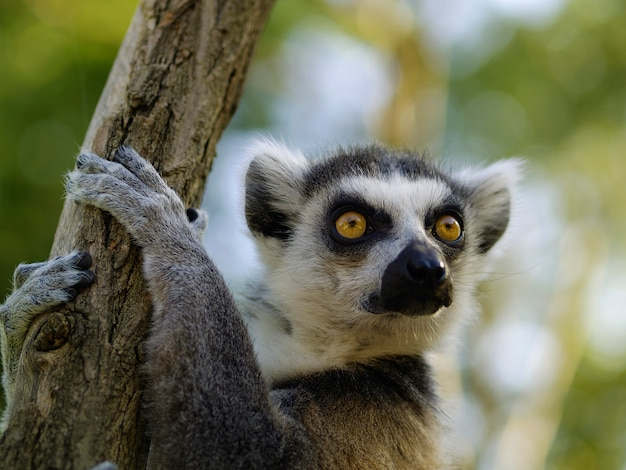 Ring-tailed lemur portrait. animal in the zoo