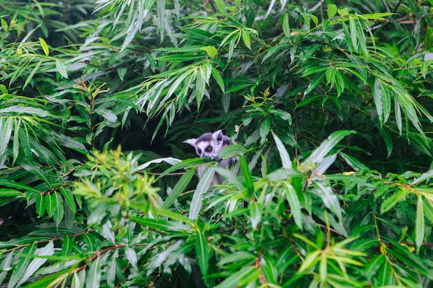 ワオキツネザルは木の上に座っています。カメラを見てキツネザルcatta。