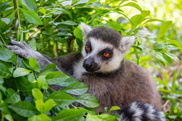 Ring-tailed lemur in the wild nature against a green leaves