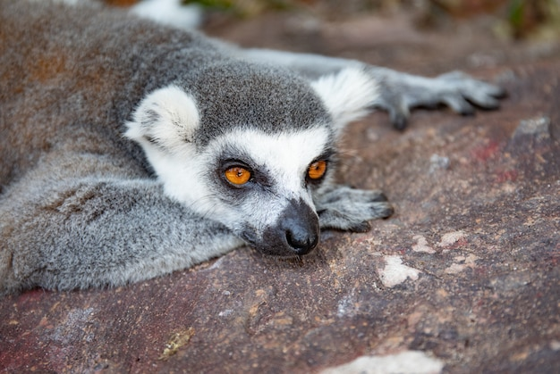 Ring-tailed lemur in the wild nature. lemur catta close up portrait.