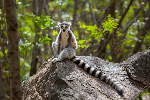 Ring tailed lemur in wild ranomafana national park