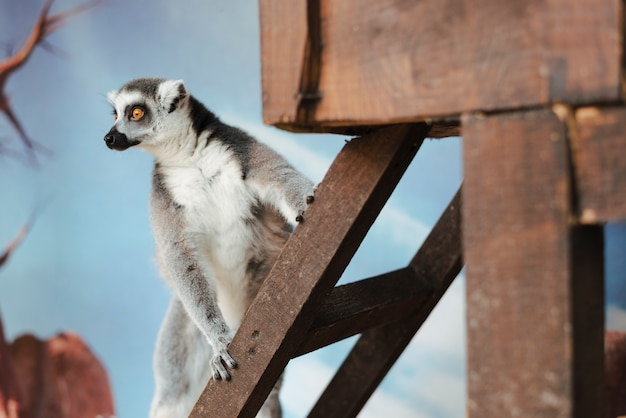 Ring-tailed lemur on wooden ladder